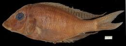 Image of <i>Lethrinops furcifer</i> Trewavas 1931