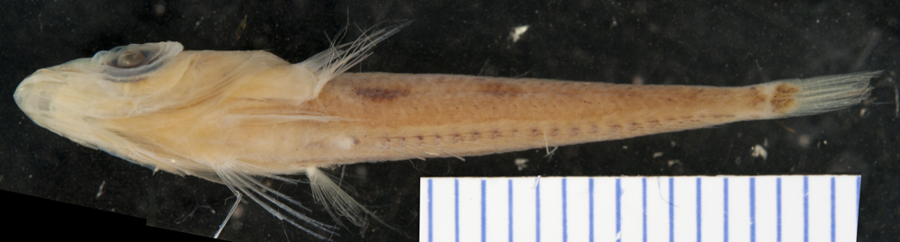 Image of Duckbill Flathead