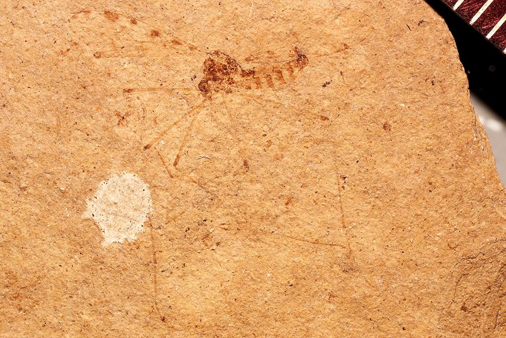 Image of <i>Cladura maculata</i> Scudder 1894