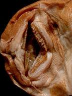 Image of <i>Plecostomus luetkeni</i>