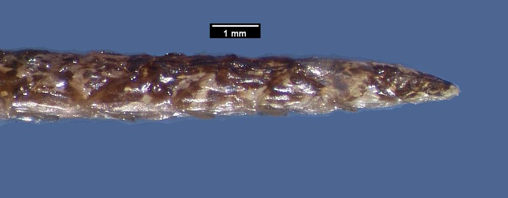 Image of <i>Xenodon <i>rabdocephalus</i></i> ssp. rabdocephalus