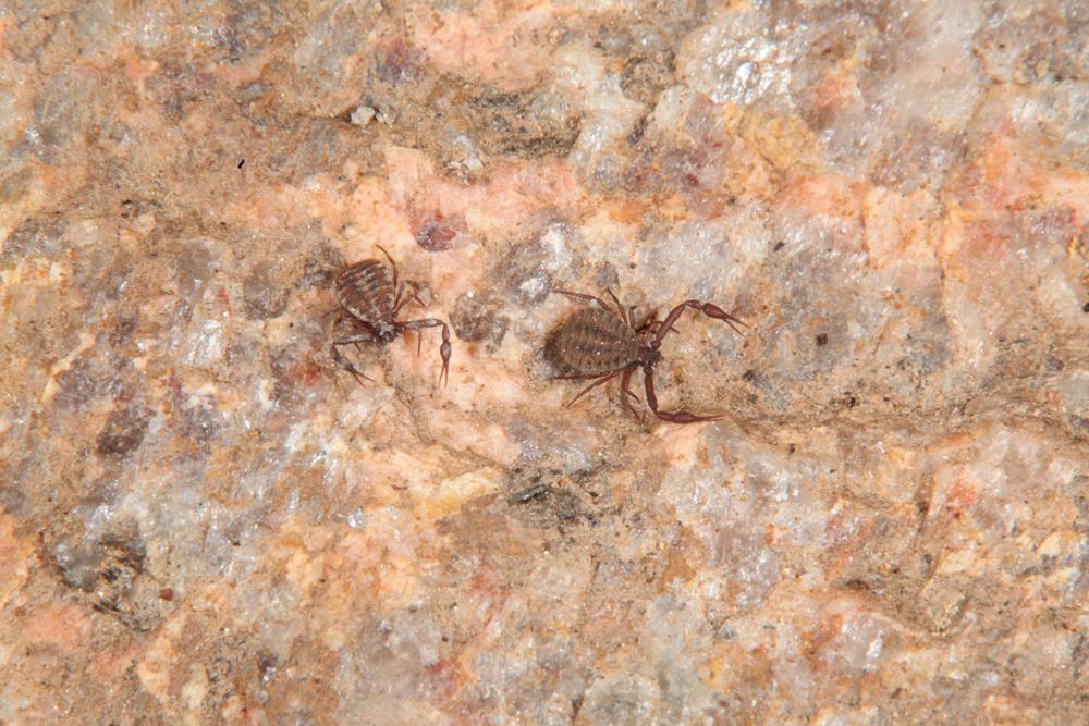 Image of <i>Pseudogarypus bicornis</i> (Banks 1895)