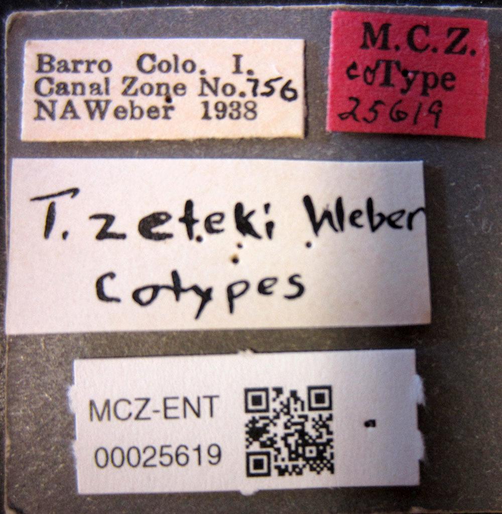 Image of <i>Trachymyrmex zeteki</i> Weber 1940