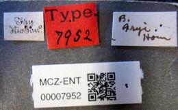 Image of <i>Bactridium fryi</i> Horn 1879