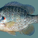 Image of Pumpkinseed