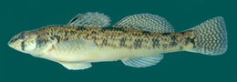 Image of Tessellated Darter