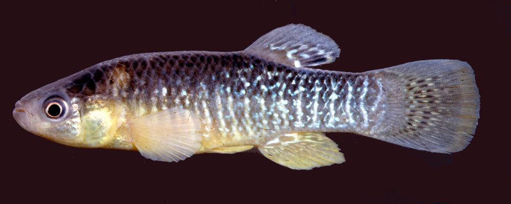 Image of Mummichog