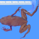 Image of Buca Small-tongue Toad