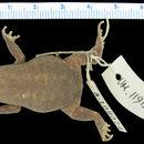 Image of <i>Probreviceps rhodesianus</i> Poynton & Broadley 1967