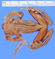 Image of <i>Nyctimystes papua</i> (Boulenger 1897)
