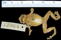 Image of <i>Oreophryne parkeri</i>