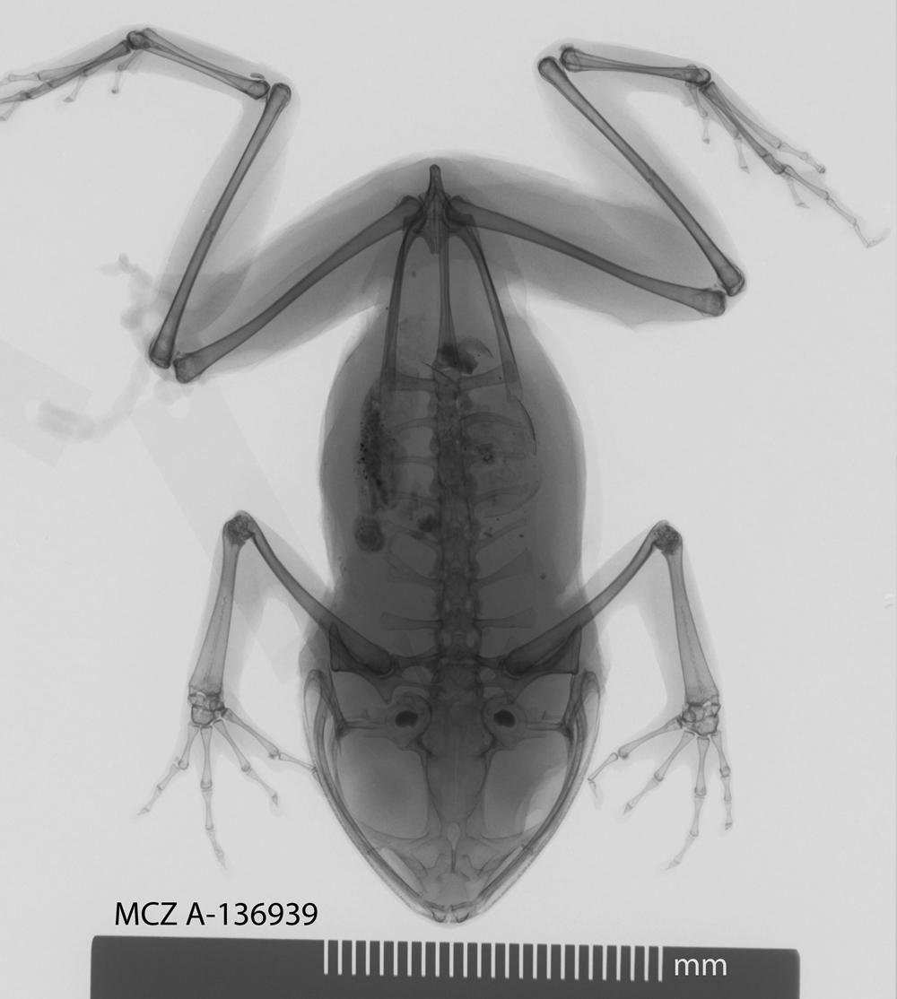 Image of <i>Nyctibates corrugatus</i> Boulenger 1904