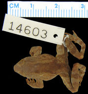 Image of <i>Occidozyga diminutiva</i> (Taylor 1922)