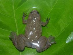 Image of <i>Xenopus parafraseri</i> Evans, Carter, Greenbaum, Gvoždík, Kelley, Mc Laughlin, Pauwels, Portik, Stanley, Tinsley, Tobias & Blackburn 2015
