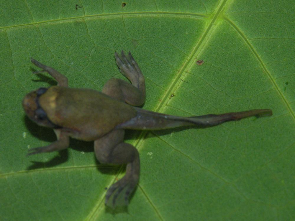 Image of Fraser's Clawed Frog