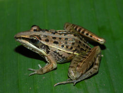 Image of Grassland Frogs