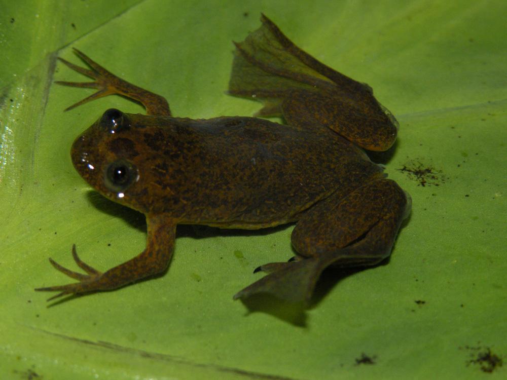 Image of Lake Oku Clawed Frog