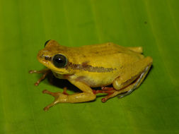 Image of Balfour's Reed Frog