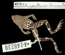 Image of Chile Darwin's Frog