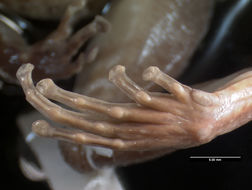 Image of Turquino robber frog