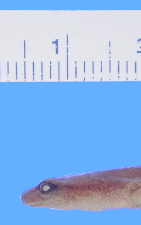 269.a22184 b engelhardti p hl jpg