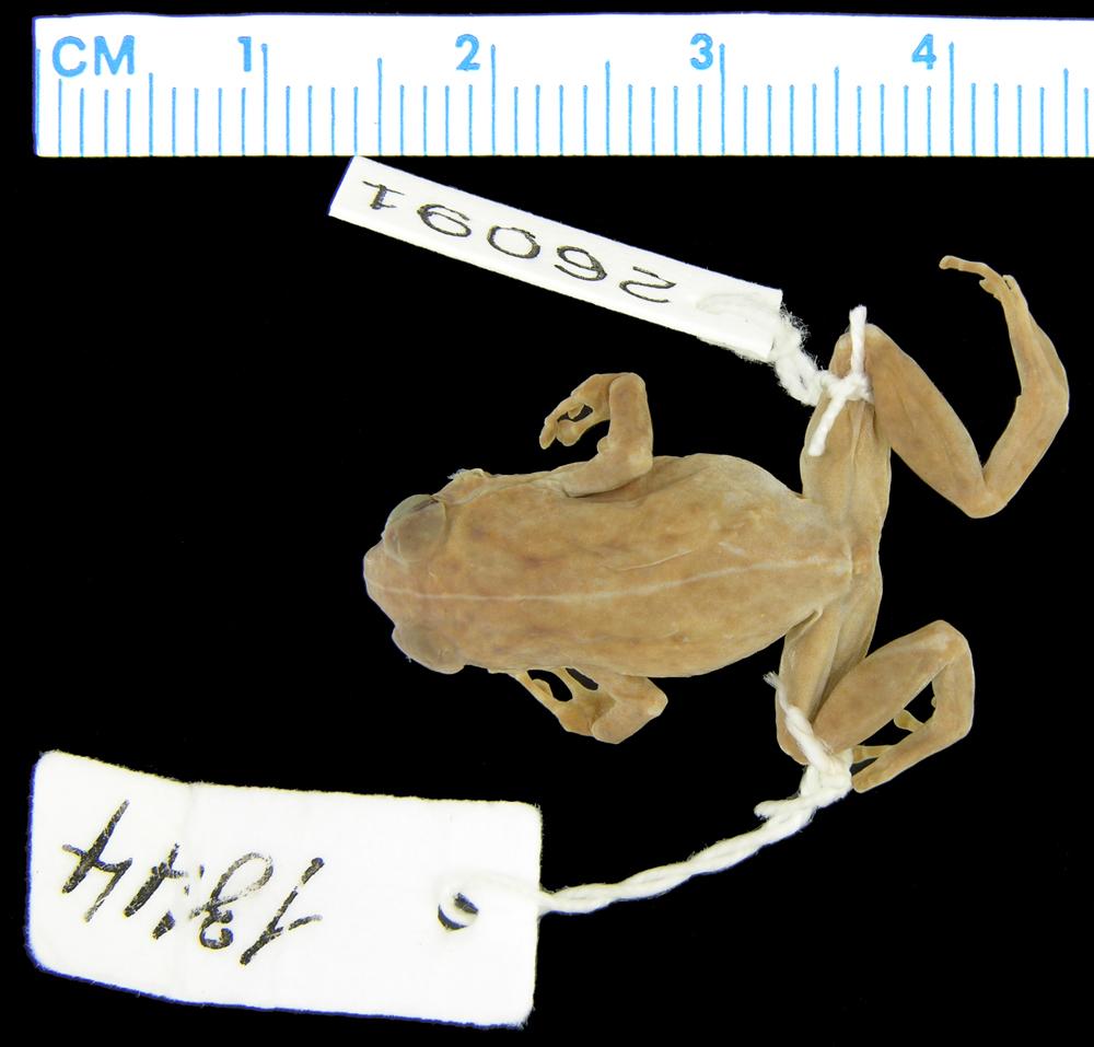 Image of <i>Oreophryne celebensis</i> (Müller 1894)