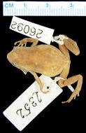 Image of <i>Oreophryne variabilis</i> (Boulenger 1896)