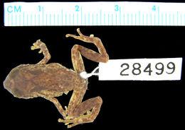Image of <i>Oreophryne insulana</i> Zweifel 1956