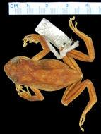 Image of <i>Oreophryne anthonyi</i> (Boulenger 1897)