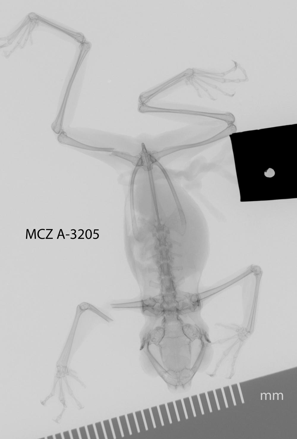 Image of <i>Pelophryne brevipes</i> (Peters 1867)