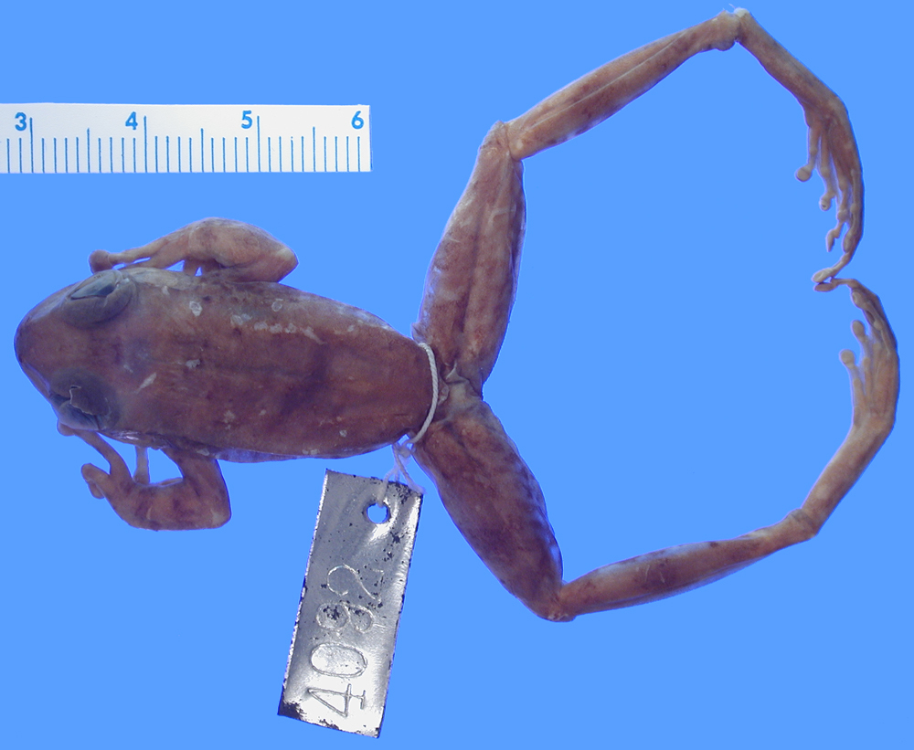 Image of Boulenger's Backpack Frog