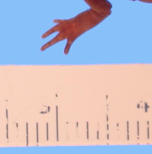 269.a44653 a cingulatum bishopi p ffd jpg