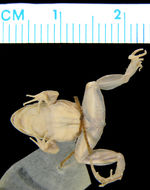 Image of Colombian Swamp Frog