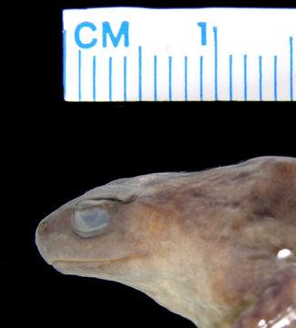 Image of <i>Austrochaperina rivularis</i>