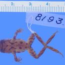 Image of Hochstetter's Frog