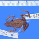 Image of <i>Atelopus mindoensis</i> Peters 1973