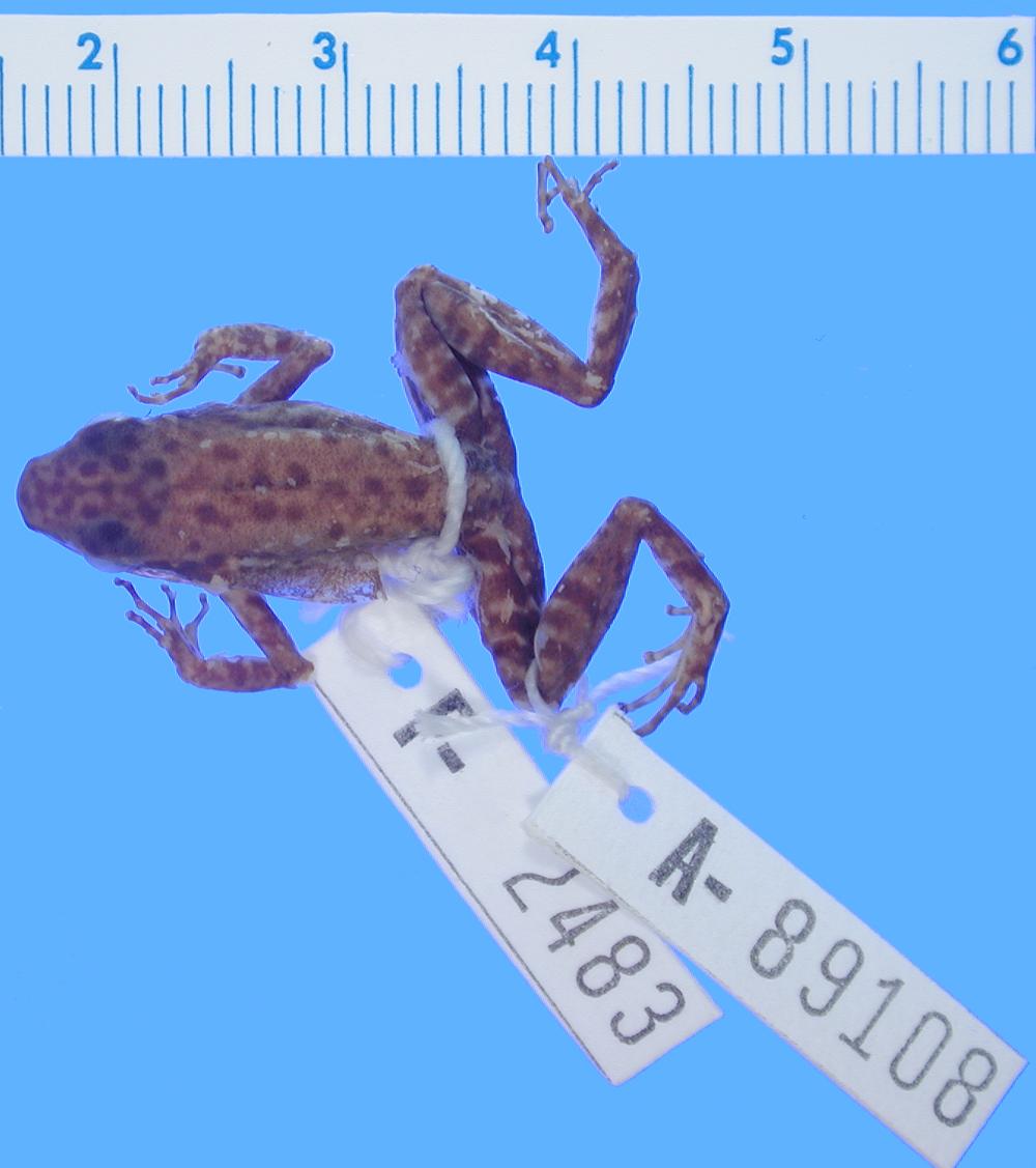 269.a89108 c poecilonotus h d jpg