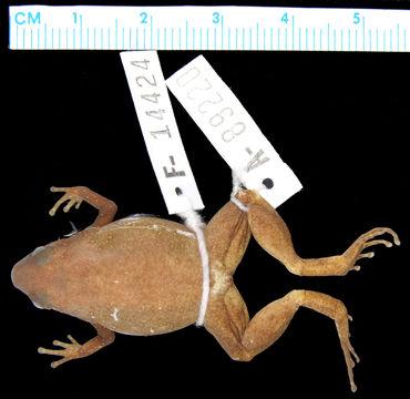 Image of <i>Austrochaperina parkeri</i> Zweifel 2000