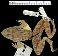 Image of <i>Lithobates magnaocularis</i> (Frost & Bagnara 1974)