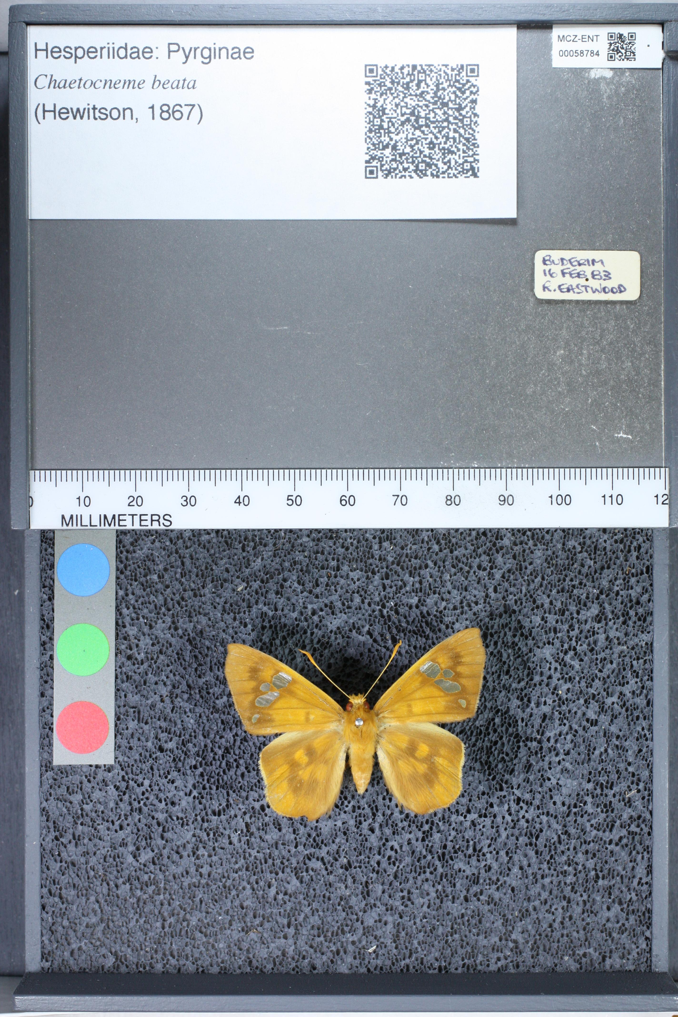 Image of <i>Chaetocneme beata</i> Hewitson 1867