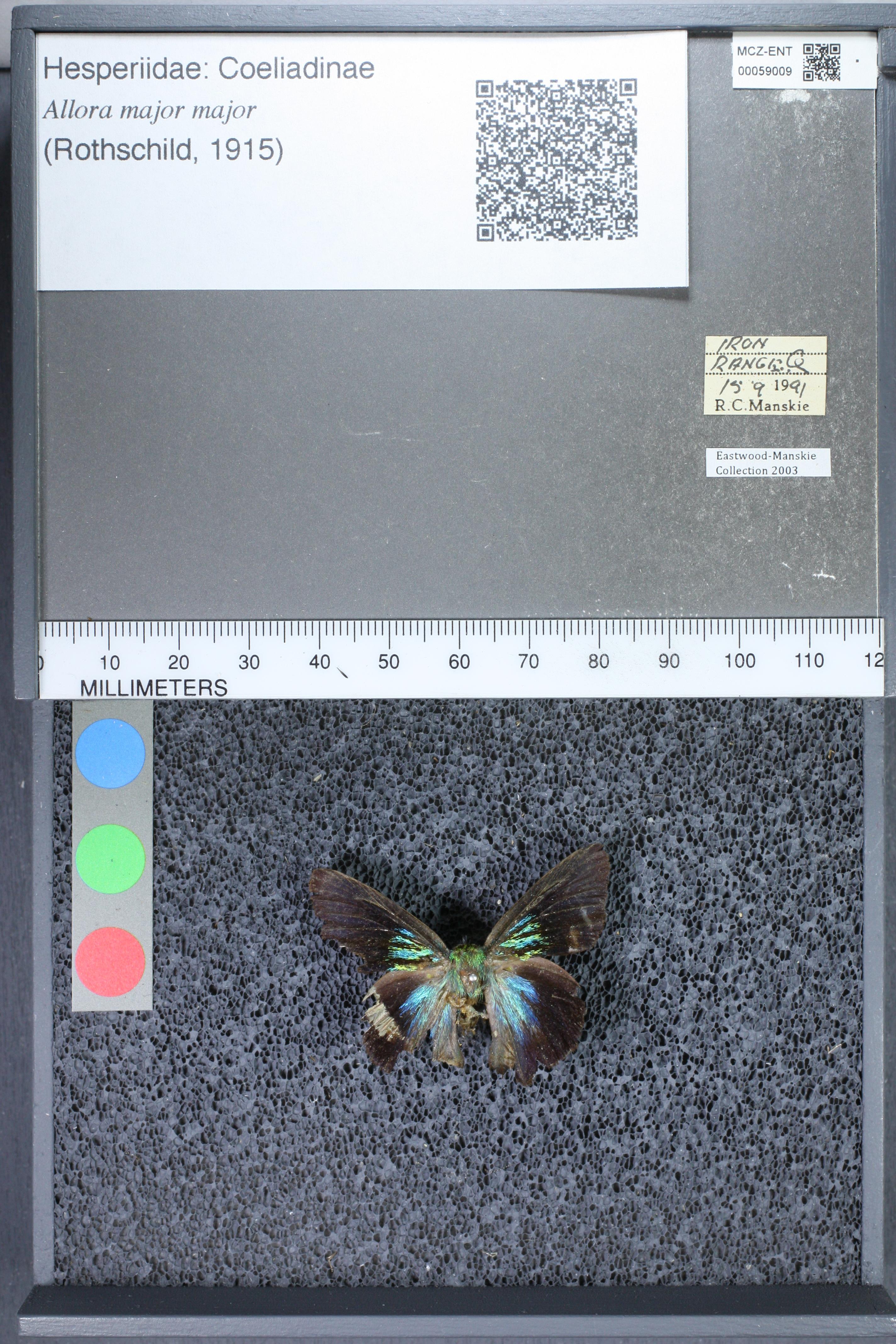 Image of <i>Allora <i>major</i></i> ssp. major