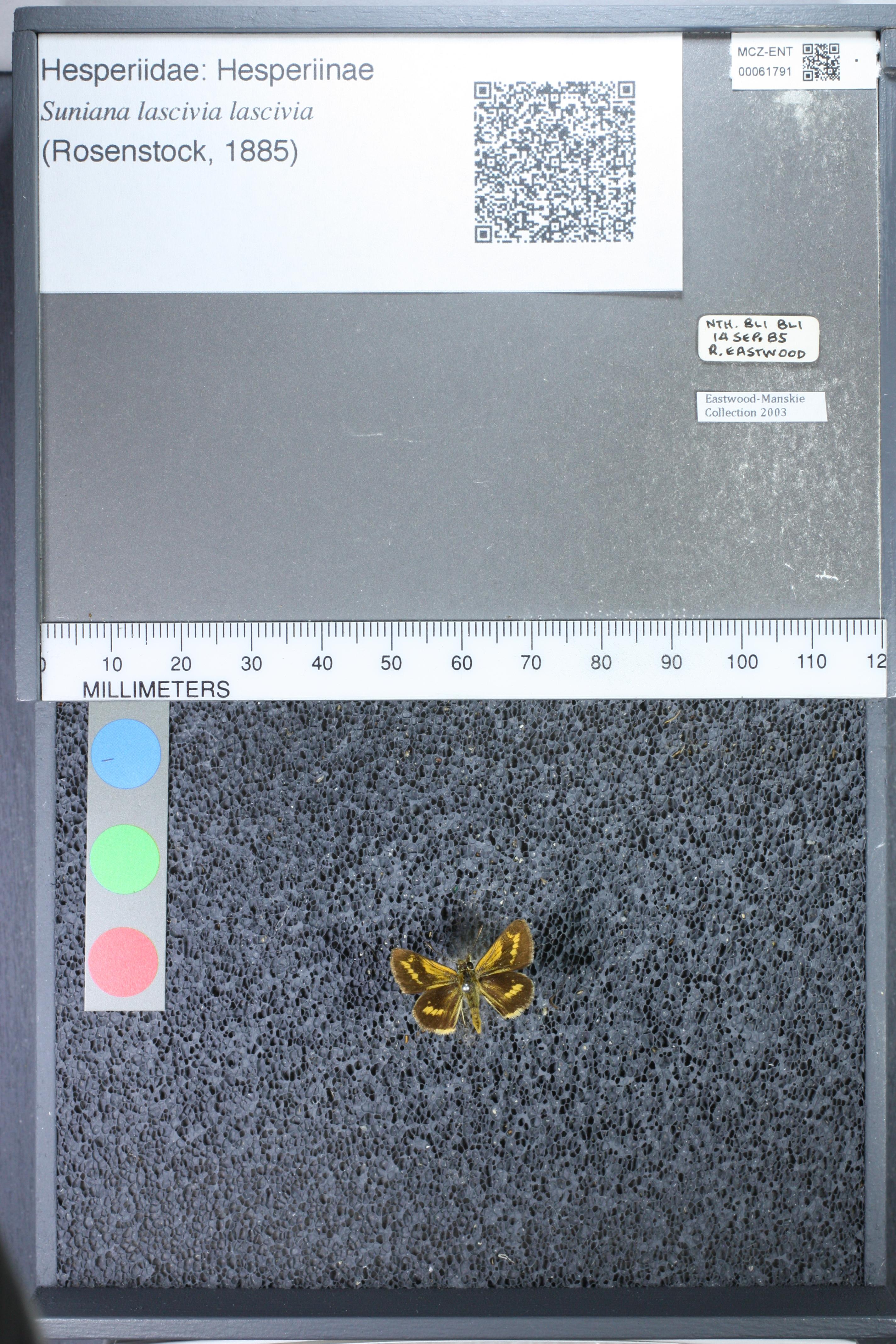 Image of <i>Suniana <i>lascivia</i></i> ssp. lascivia
