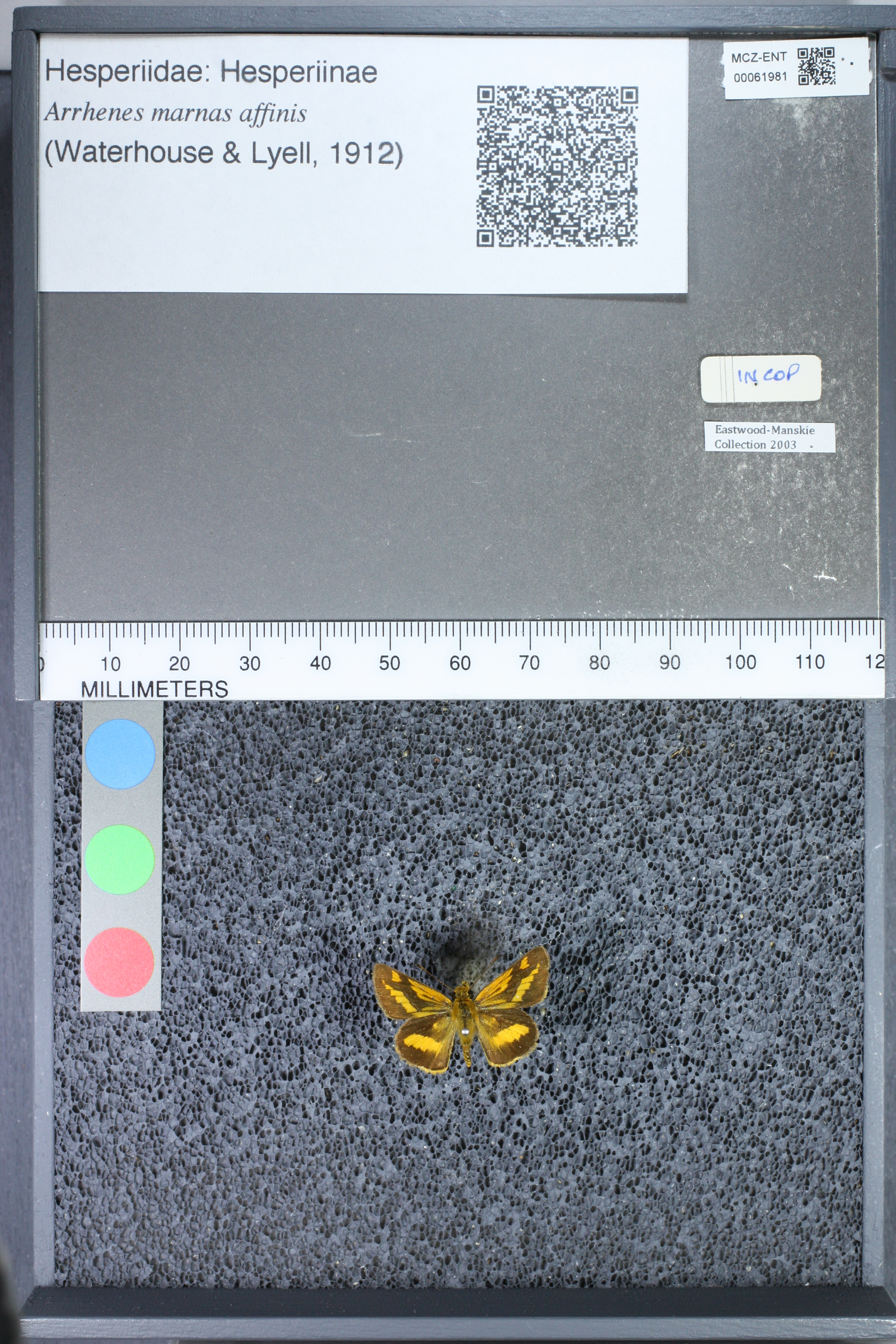 Image of <i>Arrhenes marnas affinis</i> Waterhouse 1912
