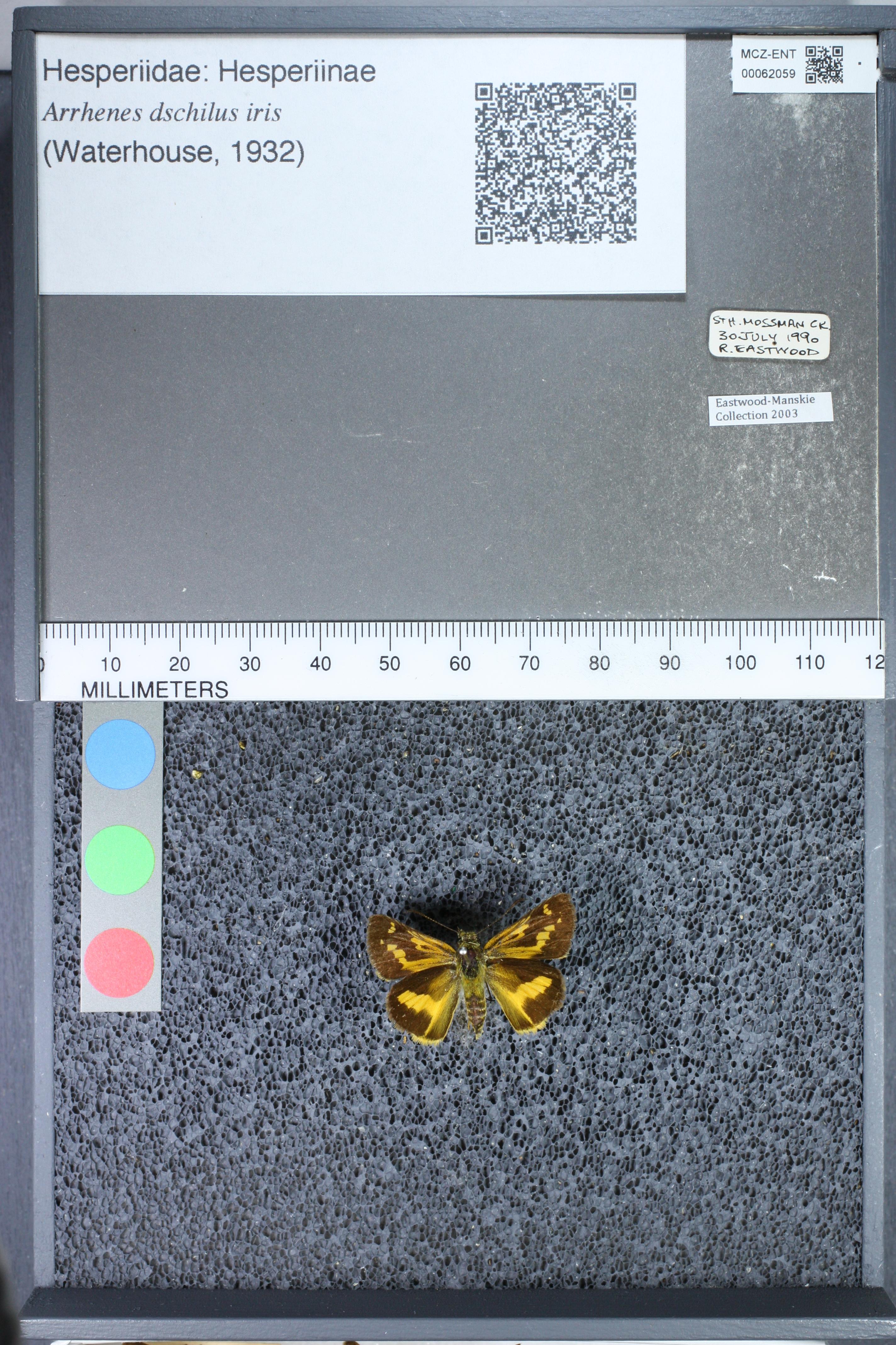 Image of <i>Arrhenes dschilus iris</i> Waterhouse 1932