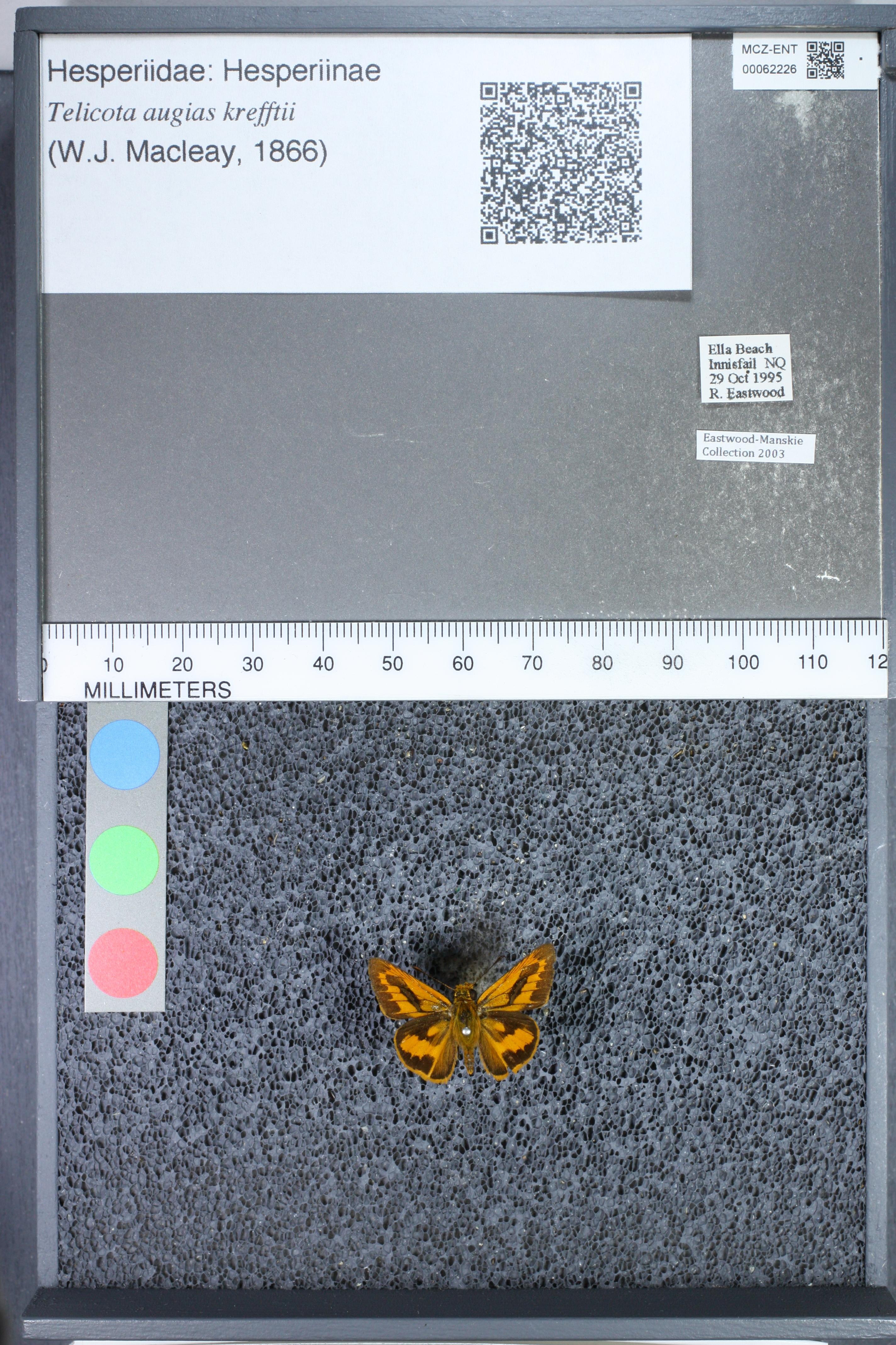 Image of <i>Telicota augias krefftii</i> Mac Leay 1866