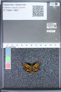 Image of <i>Cephrenes augiades sperthias</i> Felder 1862