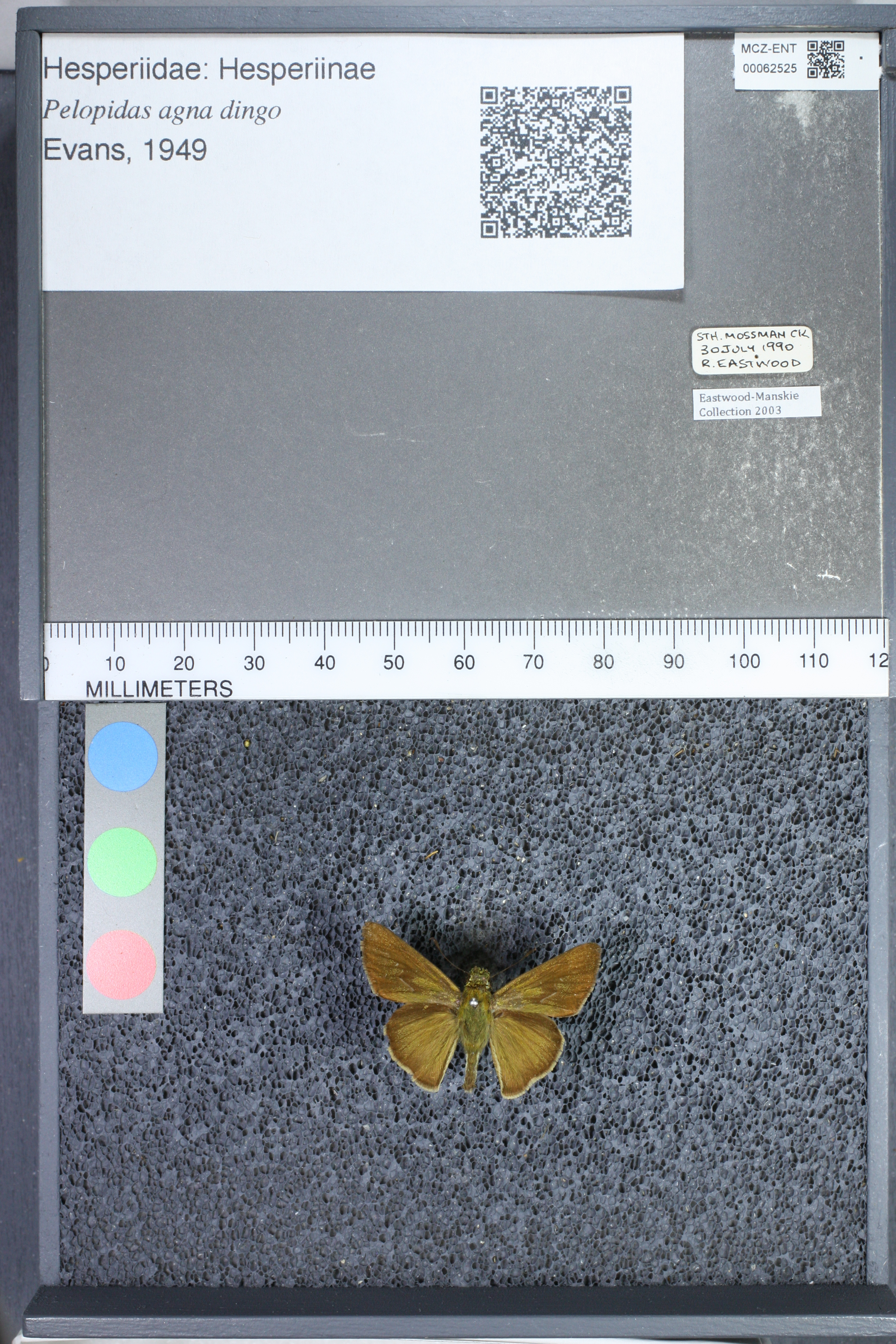 Image of <i>Pelopidas agna dingo</i> Evans 1949