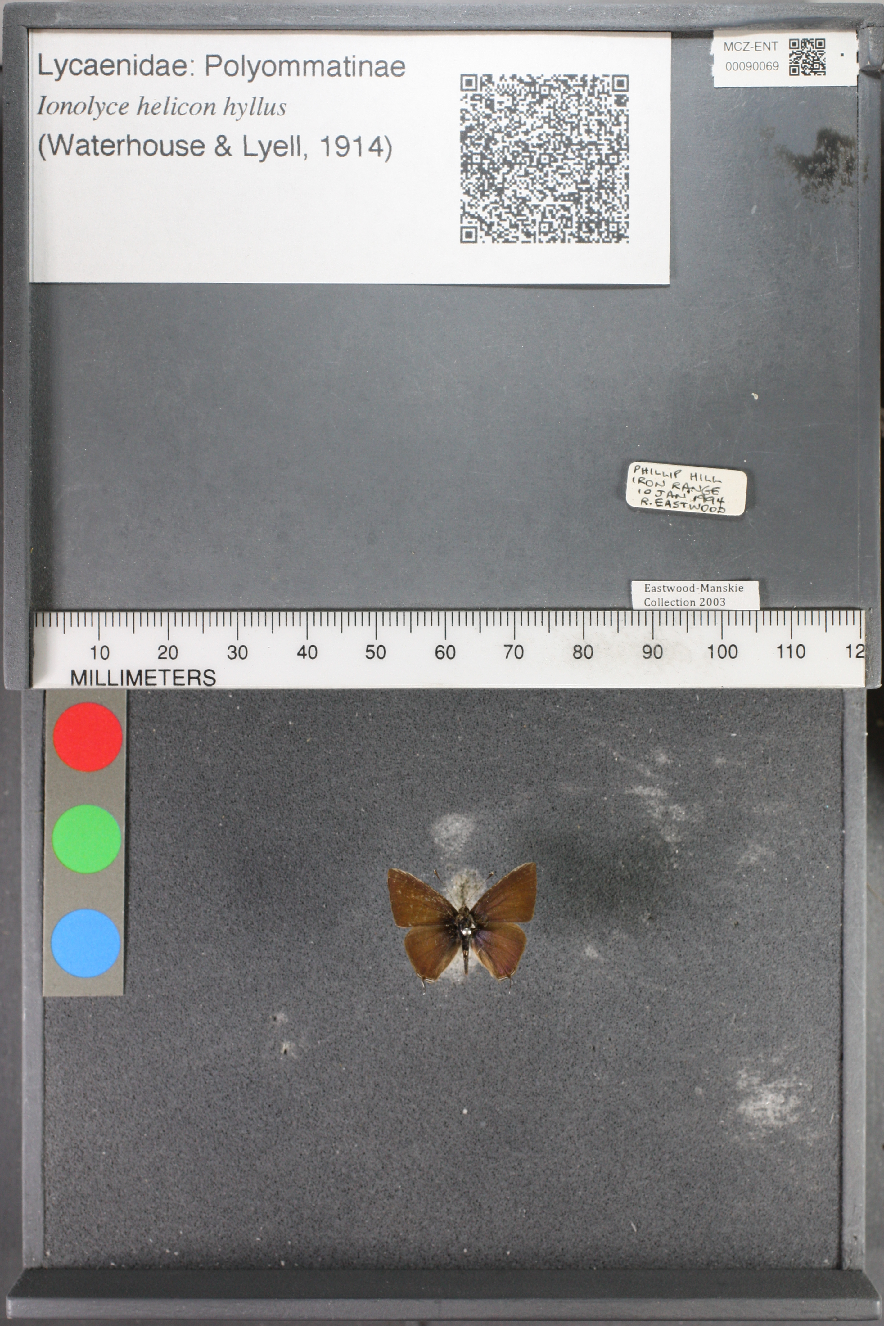 Image of <i>Ionolyce helicon hyllus</i> (Waterhouse & Lyell 1914)
