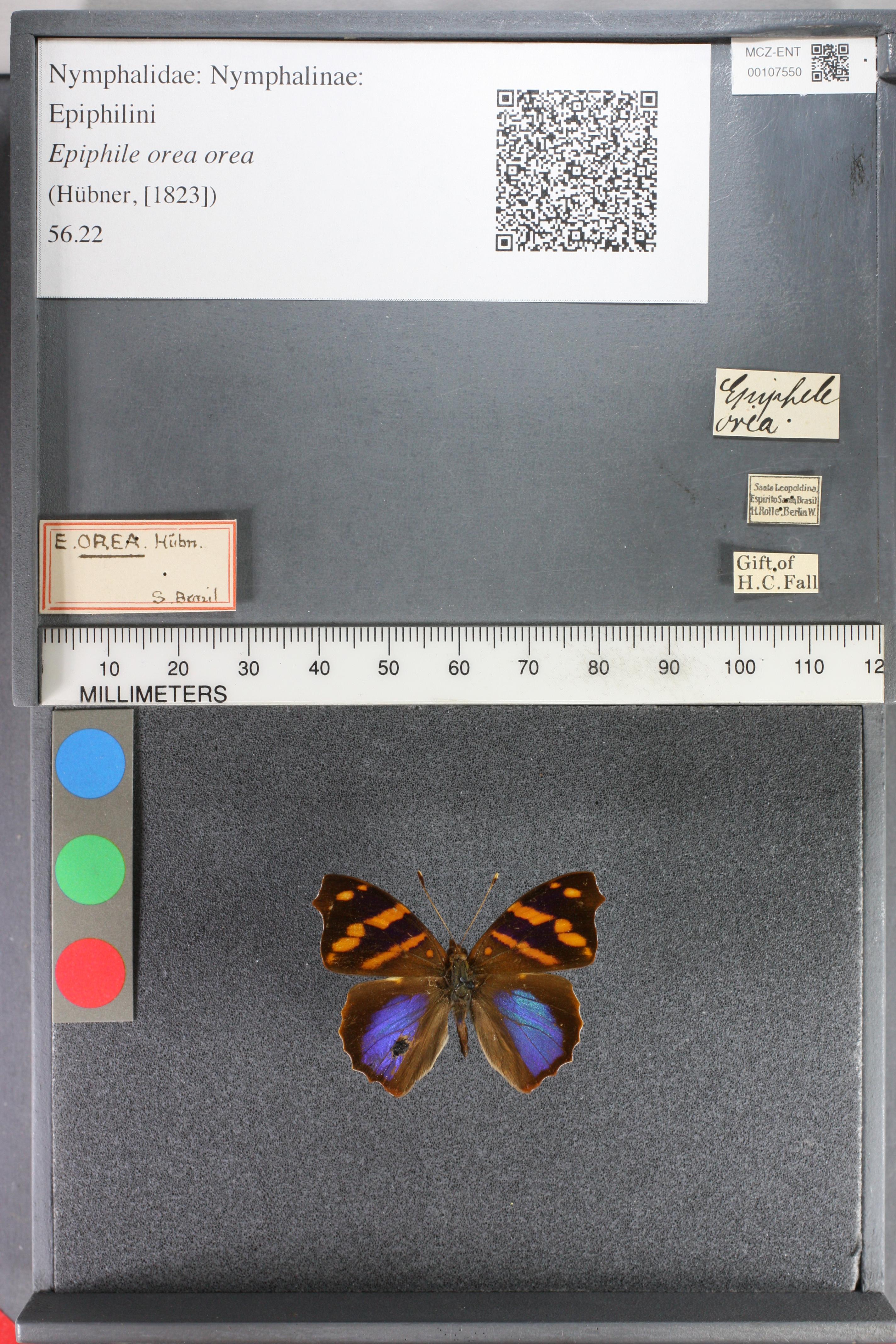 Image of <i>Epiphile <i>orea</i></i> ssp. orea