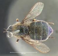 269.mcz ent00001078 eulonchus marginatus had jpg.260x190